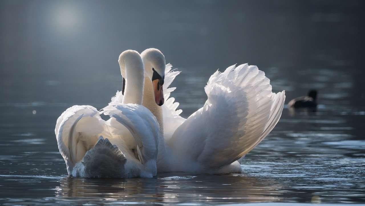 svaner den eneste ene monogami